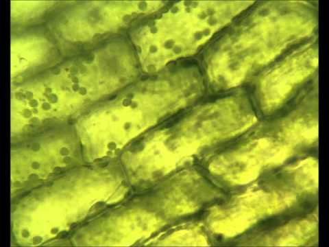 Image result for chloroplast real