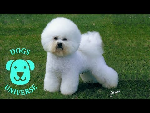 BICHON FRISE ► Characteristics and temperament 🐶