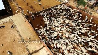 Cattle farm: Fantastic aerial view of corralled cows in India
