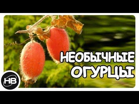 10 Редких и Необычных сортов Огурцов со Всего Мира.