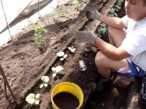 видео: Посадка огурцов в парнике
