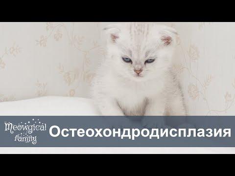 Остеохондродисплазия у шотландских вислоухих кошек