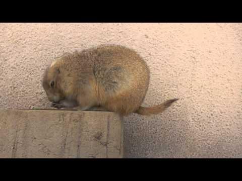 無警戒なプレーリードック 千葉市動物公園2014年12月14日 00212