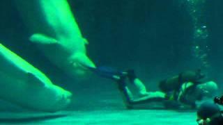 しまね海洋館アクアスにて、ショーが終わりプールの清掃作業をするダイ...