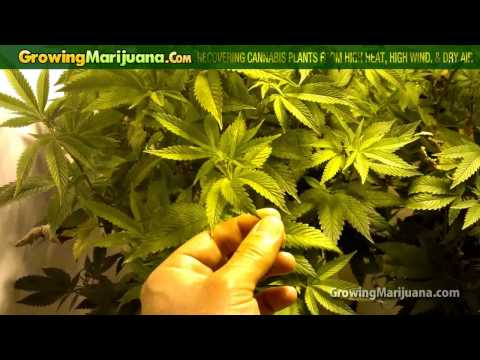 Recovering Cannabis Plants From High Heat,...