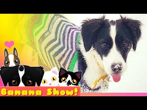 Snow Puppy ❤ TUG-OF-WAR with a CAT!?  | Banana the Talking Dog Show Ep: 04