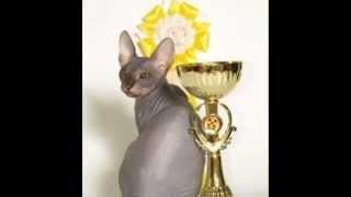 Донской сфинкс видео на котором кошки породы донской сфинкс красуются на выставке кошек