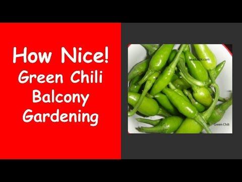 Green Chili Balcony Gardening  Green Chili Balcony Gardening
