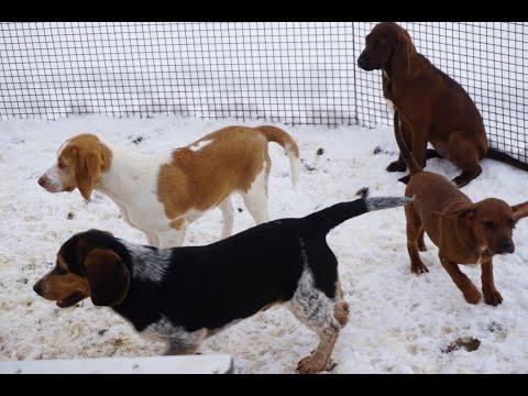 Sweet Hound doggies for adoption: Beagle mixes & a purebred Beagle