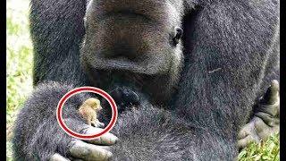 ゴリラの親友は小さな動物、 一緒に遊ぶ姿がとてもやさしかった! アフ...