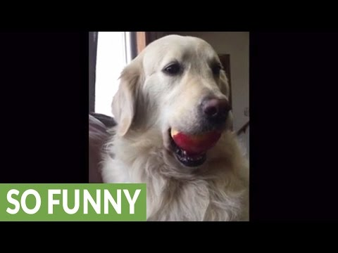 Golden Retriever caught red-handed stealing apple