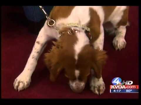 Dog Training Mobile, Tucson Owner, Gerard Raneri discusses the Brittany Spaniel  KVOA TV 4 Tucson