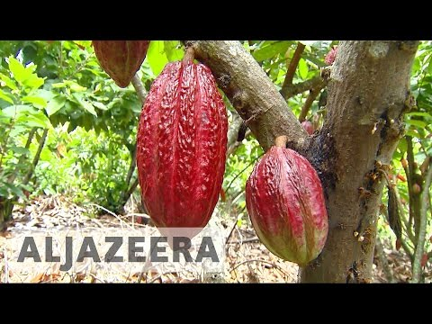 Ecuador's cocoa farmers making fair trade chocolate