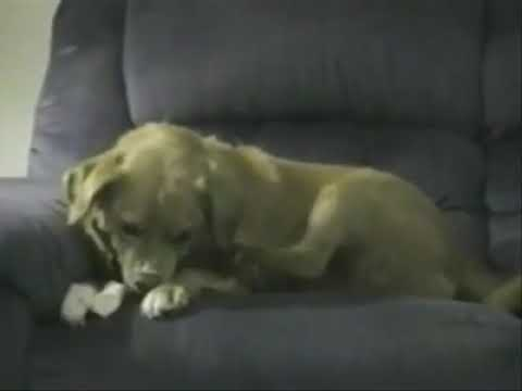 Dog Own Legs Tries To Steal Bone Youtube
