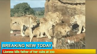 Breaking News - Lioness kills father of her cubs at zoo