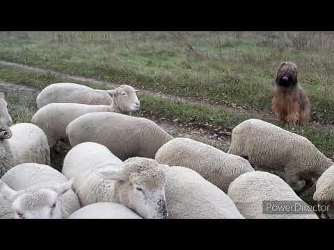Работа на выпасе овец на ограниченой территории- французская овчарка бриар.