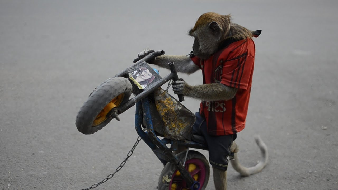 Monkey Riding A Motorcycle In Jakarta Indonesia Velvet