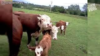 Приколы про коров.