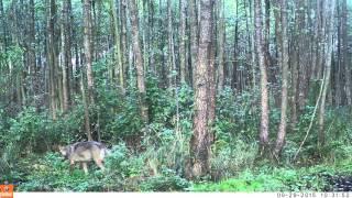 Wilk Puszcza Knyszyńska Eurasian Wolf Knyszyn Forest