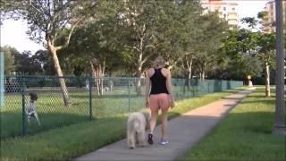 Samson (6 Month Old Golden Doodle) Before And After Video-off Leash K9 Training, Tampa Bay