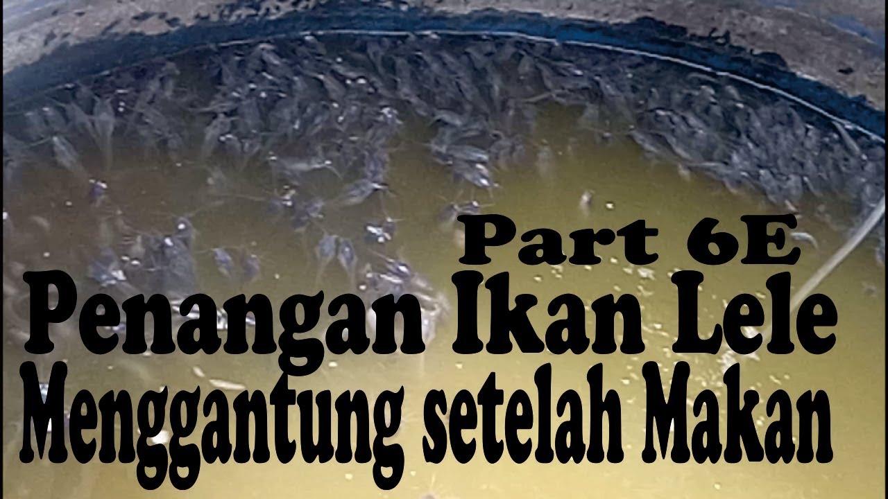 Cara Mudah Dan Sukses Mengobati Ikan Lele Kembung Saat Budidaya Ikan Lele By Wongtani