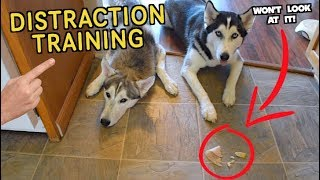 Distraction Training For Siberian Husky (Pet Store Wrap-up)
