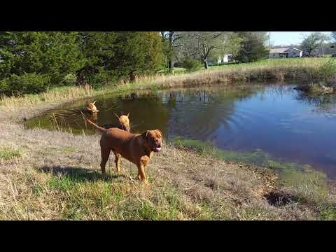 Dogue de Bordeaux/ French Mastiff Dogs
