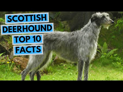 Scottish Deerhound - TOP 10 Interesting Facts
