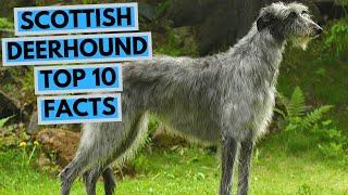 Scottish Deerhound  TOP 10 Interesting Facts