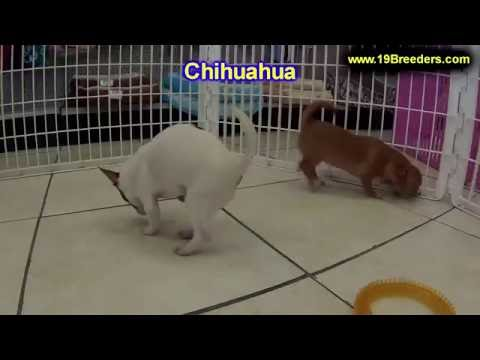 Chihuahua, Puppies, Dogs, For Sale, In Chicago, Illinois, IL, 19Breeders, Rockford, Naperville