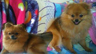 Мои собаки играют и мешают заправлять кровать