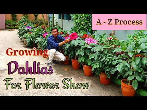 Growing Dahlias From Cuttings The Full Tutorial. Learn From A - Z Process.