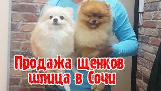 Продажа щенков шпица в Сочи/Щенки шпица/Купить щенка шпица