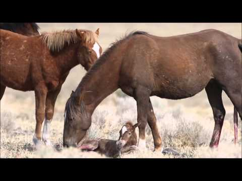 Wild horse filly just born in the Pine Nut Mountains of Northern Nevada