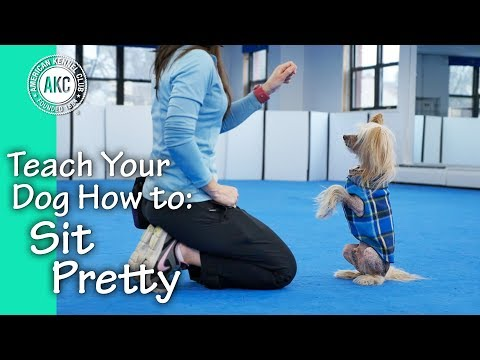 Teach Your Dog How To Sit Pretty - AKC Trick Dog
