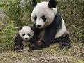 Animales en peligro de Extinción: Oso Panda