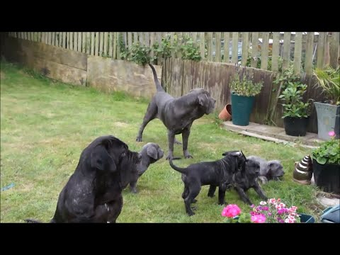 Puppies Leaving! Very Last Time With Neapolitan Mastiff Family All Together