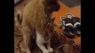 Собачка насилует кошку
