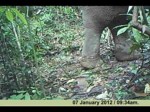 Wild Asian Elephant - Elephant Hills and Rainforest Camp - Camera trap