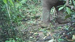 Wild Asian Elephant - Elephant Hills and Rainforest Camp - Camera trap