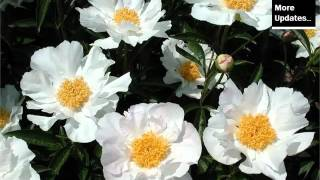 White Perennial | White Flower Images And Ideas Collection - Phula Pics