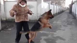 Training.ОХРАНА ХОЗЯЙКИ!Security owner.Немецкая овчарка Викки. Оdessa.