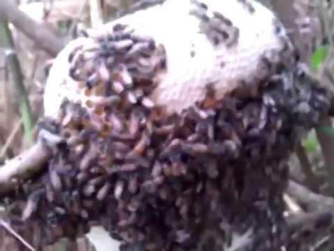 Ong ruồi lấy mật, ong ruoi lay mat, lấy mật ong ruồi như thế nào, bắt ong ruồi