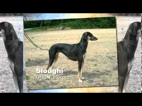 Sloughi Dog Breed