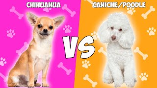 Chihuahua vs Poodle(Caniche) en ESPAÑOL  QUIEN GANA?