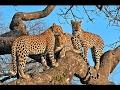 Leopards Family ~~ Dead Tree Island ~~