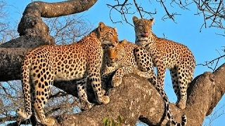 Download Video LEOPARDS FAMILY ~~ Dead Tree Island ~~ HD.. MP3 3GP MP4