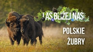 Las bliżej nas - Polskie żubry