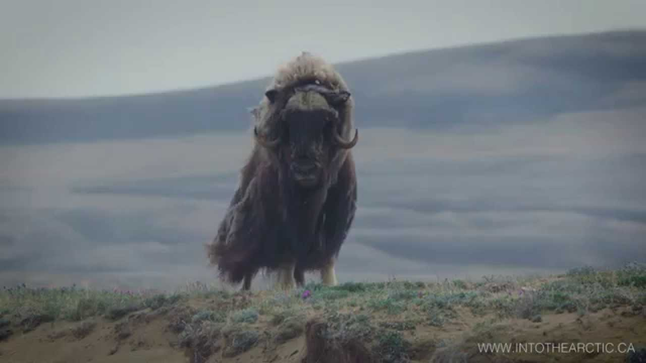 Majestic muskox in Aulavik National Park on Banks Island ...