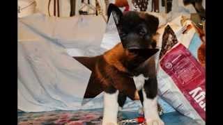 Питомник Дайкити Хондо предлагает щенков американской акиты от титу...